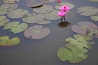 Close-up of water lilies in a pond, Angkor Wat, Siem Reap, Cambodia