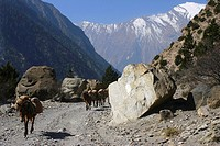 Four mules carrying luggage, Annapurna Range, Himalayas, Nepal