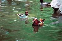 Mandarin ducks in the forest park, Fuzhou City, Fujian Province, People's Republic of China
