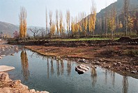 Birches at end of Chenjiazhuang Village, Yichuan County, Yan'an City, Shanxi Province, People's Republic of China