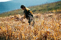 View of a man working in field reaping wheat, Guyuan County, Hebei Province of People´s Republic of China, FOR EDITORIAL USE ONLY