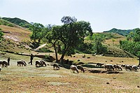 Shepherds and flock of grazing sheep, Guyuan County, Hebei Province of People´s Republic of China, FOR EDITORIAL USE ONLY