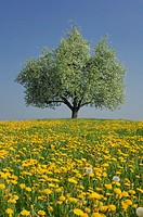 Pear tree in blossom in meadow with dandelions, blue sky
