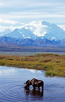 Moose (Alces alces), Mount McKinley, Denali National Park. Alaska, USA