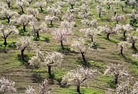 Almond trees (Prunus dulcis) in full blossom in February near Alhama de Granada. Granada province, Andalucia, Spain