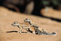 Cape Ground Squirrel (Xerus inauris). Kalahari-Gemsbok National Park, South Africa