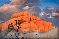 Joshua Tree and rock formations at sunset in Joshua Tree National Monument. California. USA