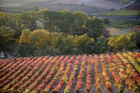 Vineyards in autumn in San Asensio, Rioja Spain