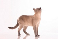Tonkinese cat - cutout