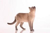 Tonkinese cat - cutout