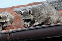 common raccoons on roof
