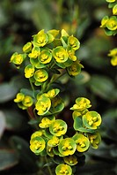 Spurge (Euphorbia sp.)
