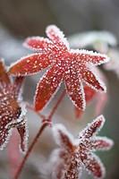 Geranium pratense, Geranium / Cranesbill
