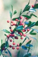 Ilex aquifolium, Holly