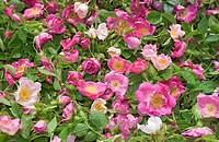Rosa centifolia, Rose
