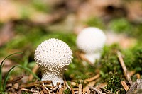 Forest-ground, Flaschen-Stäublinge, Lycoperdon perlatum,