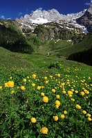 Austria, Tyrol, Karwendelgebirge, meadow, troll-flowers, narrow, Schafkar top Lamsen top Großer Ahornboden, spring, Karwendel, mountains, mountains, a...