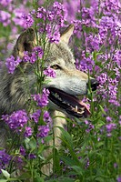 Gray-wolf, Canis lupus, flower meadow, profile, nature, wildlife, animal, mammal, game-animal, carnivore, game-dog, wolf, Canidae, pants, tongue, obse...