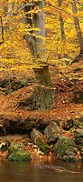 autumn forest, brook, detail, forest, plants, vegetation, trees, broad-leafed trees, beeches, leaves, autumnal, foliage, fall foliage, forest-brook, r...