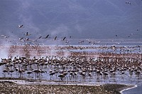 Kenya, Bogoriasee, flamingos, Africa, lake,salt-lake,wildlife, Wildlife, animals, birds, plover-birds, waterfowls, bird-flock, food-Sea