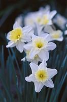 Daffodil (Narcissus ´Ice follies´)