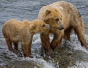 Brown Bear mom and her cub at Brooks Falls in Katmai National Park, Alaska, USA