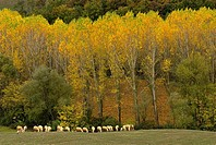 Tuscan landscape, deciduous forest and pastureland, flock of sheep,  line of poplar trees, colours of autumn, Tuscany, Italy