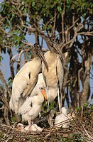 Wood Stork (Mycteria americana) with young at nest. Venezuela