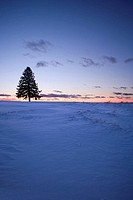 LONE FIR TREE SILHOUETTE