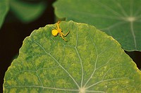 Crab spider basking on Nasturtium leaf. California, USA