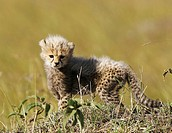 Cheetah cub 3 weeks old, Maasai Mara, Kenya