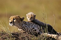 Cub and mother cheetah, Maasai Mara, Kenya