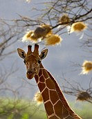 Portrait of reticulated giraffe, Samburu, Kenya