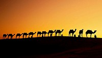 A group of camel herders with their camels at sunset on the sand dunes in Jaisalmer, India. Rajasthan, India