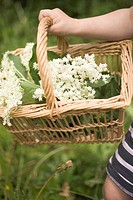 Child holding a basket of elderflowers