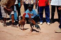 Domestic, Fowls, rooster, fighting, Madagascar