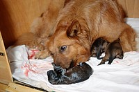 Old, German, Shepherd, bitch, licking, newborn, puppy