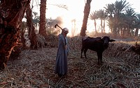 Farmer, and, cattle, Luxor, Egypt