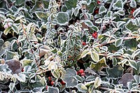 Ivy and privet with hoar frost
