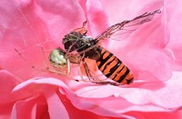 Comb-footed, Spider, with, seized, Marmelade, Hover-fly, Lower, Saxony, Germany, Enoplognatha, ovata, Episyrphus, balteatus