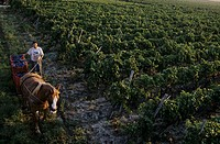 Grape-picking with horse & cart, Cirò wine region, Calabria, Italy