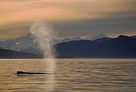 Humpback, Whale, Frederick, Sound, Alaska, USA, Megaptera, novaeangliae