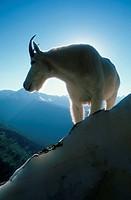 Mountain, Goat, Glacier, national, park, Montana, USA, Oreamnos, americanus