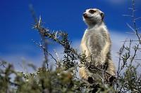 Meerkat, Kalahari, Namibia, Suricata, suricatta,