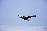 Steller´s, Sea, Eagle, Hokkaido, Japan, Haliaeetus, pelagicus, side,