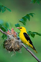 Golden, Oriole, male, at, nest, with, chicks, Bulgaria, Oriolus, oriolus,