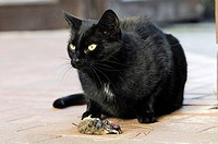 Domestic, Cat, with, seized, Mouse,