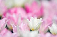 Tulip, ´Duc, van, Tol´, Tulipa, greigii, hybride,