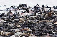 Cape fur seals Arctocephalus pusillus resting on beach