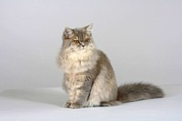 British, Longhair, Cat, blue-cream-silver-tabby-mackerel, Highlander, Lowlander, Britanica,